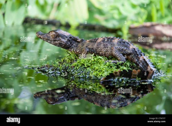 20+ Dwarf Caiman Reptile Pictures and Ideas on Weric