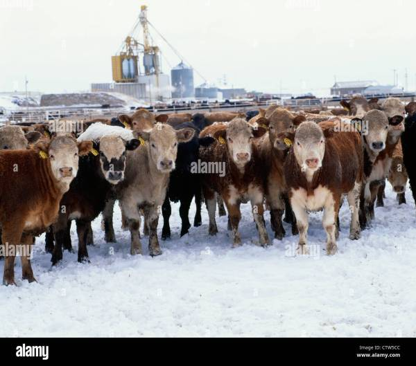 Livestock Market In Ks - Year of Clean Water