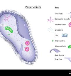 colorful vector illustration of a single celled paramecium with structures clearly labeled in separate key all layers labeled  [ 1300 x 1047 Pixel ]