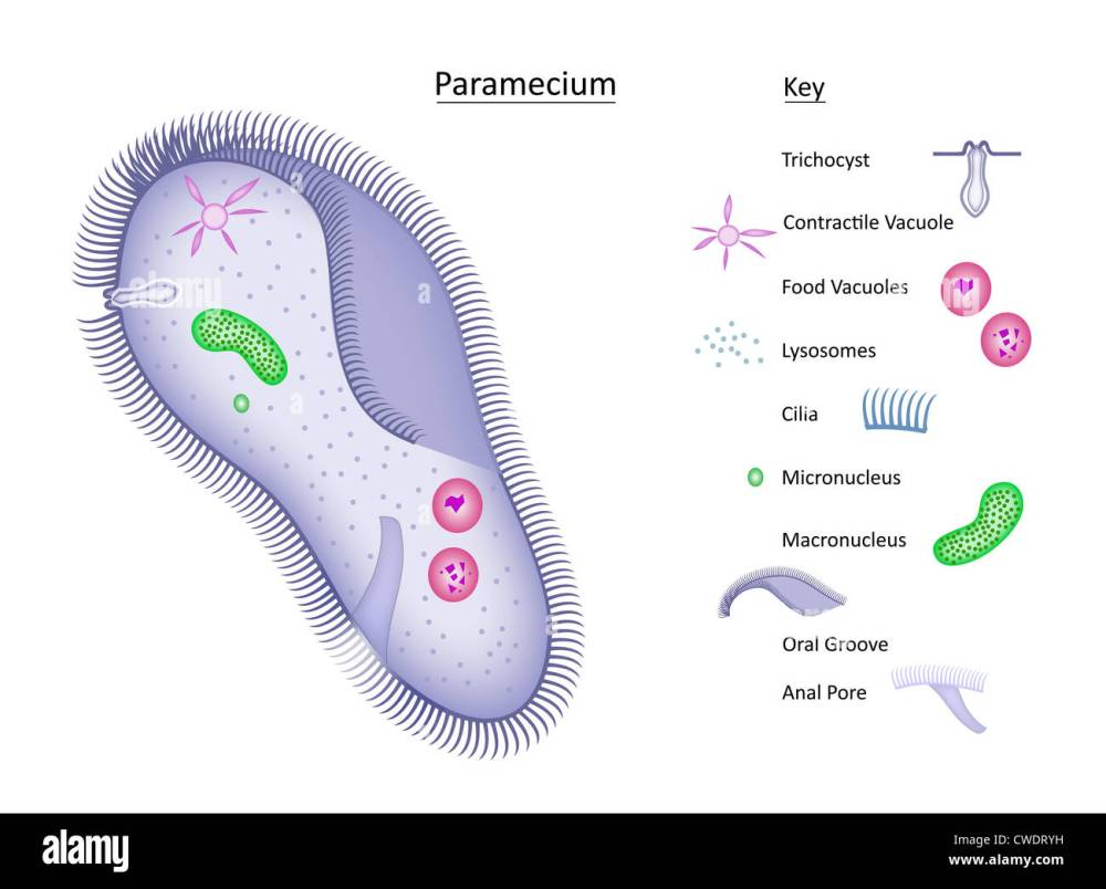 medium resolution of colorful vector illustration of a single celled paramecium with structures clearly labeled in separate key all layers labeled