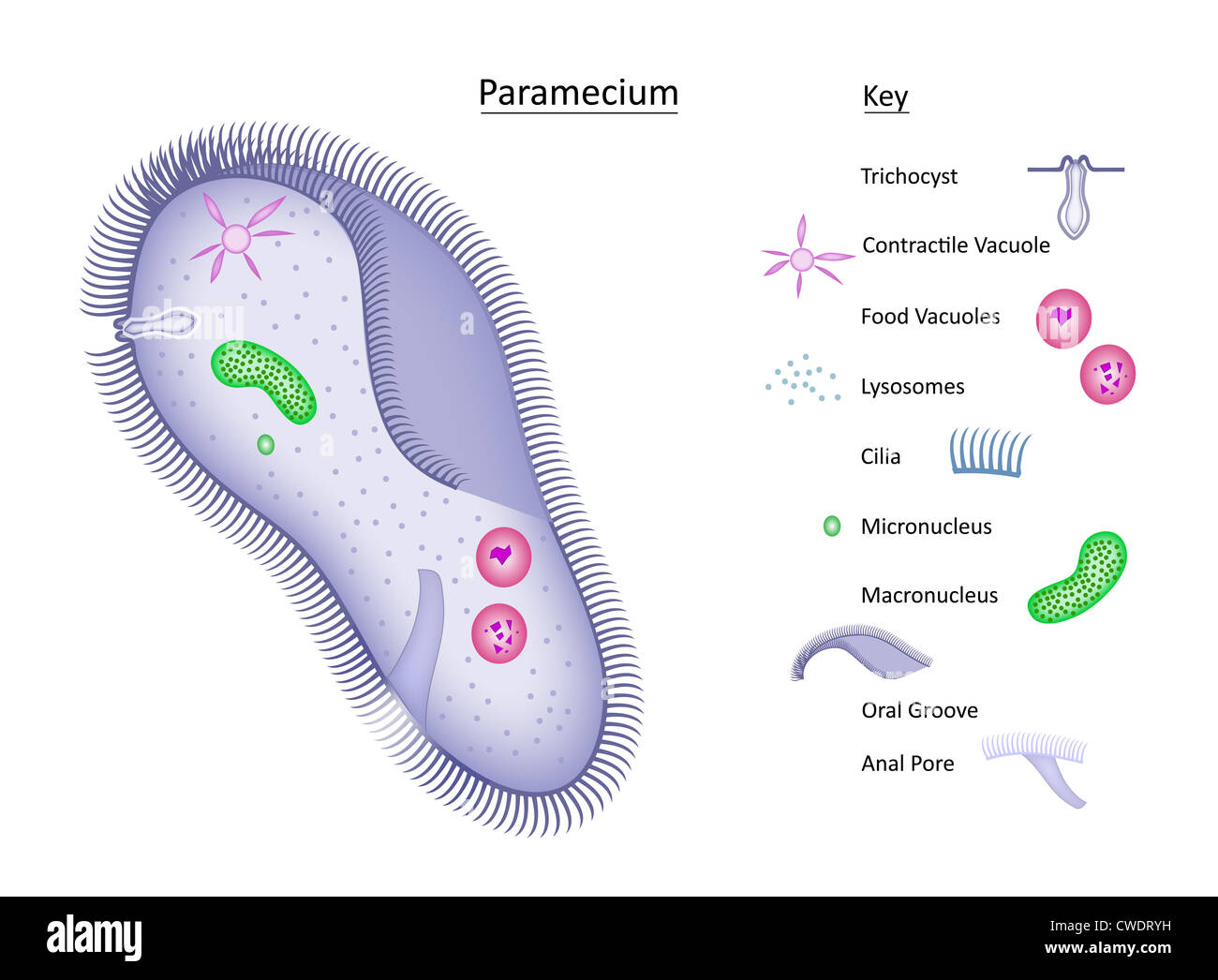 hight resolution of colorful vector illustration of a single celled paramecium with structures clearly labeled in separate key all layers labeled