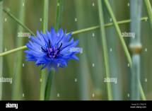 Cornflower National Flower Of Estonia Growing Field