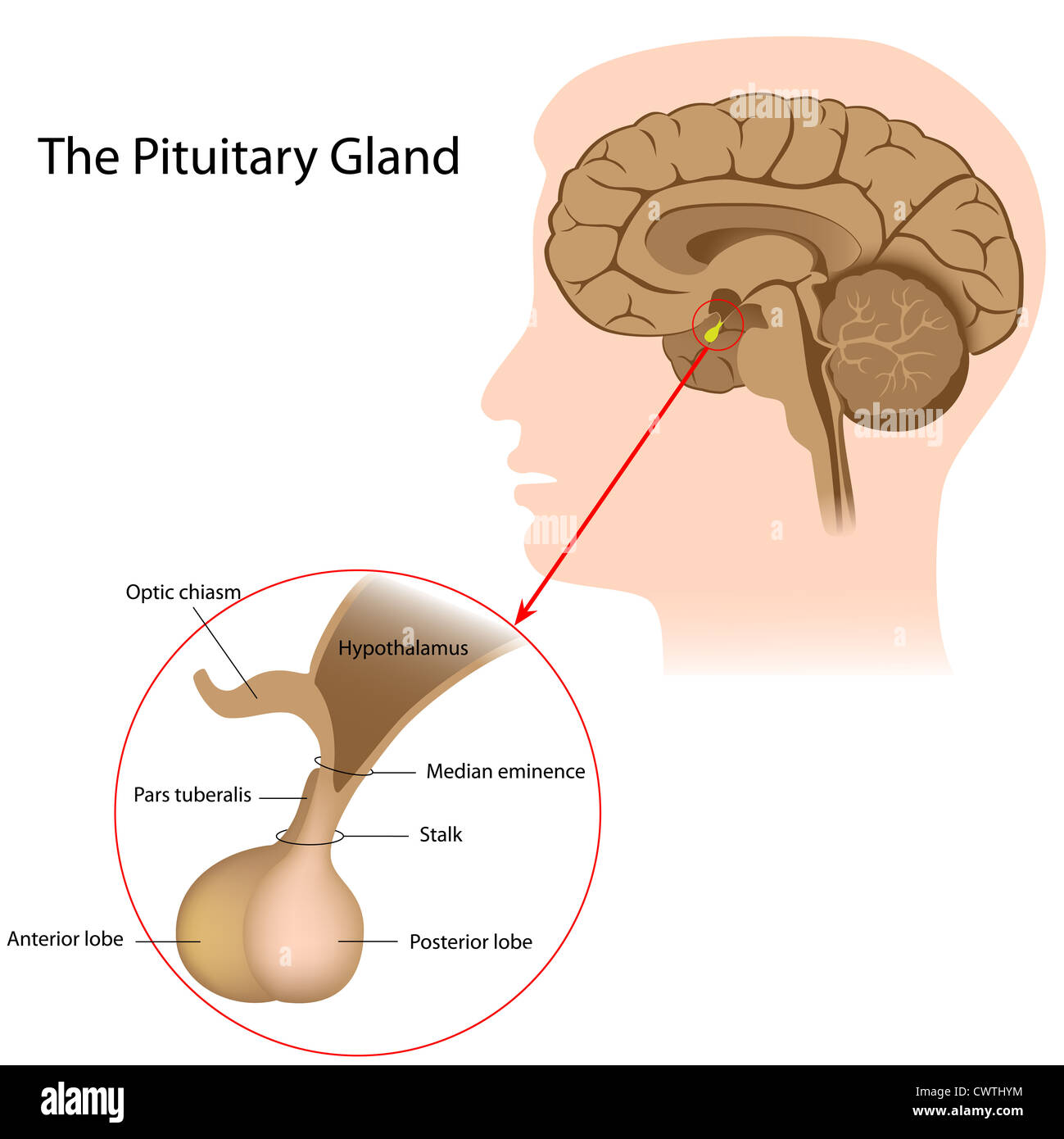 hight resolution of the pituitary gland stock image