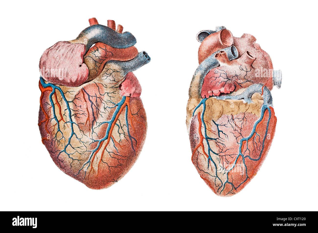 anatomical heart diagram nissan navara radio wiring drawing stock photos human illustration image