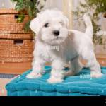 White Miniature Schnauzer Puppy On A Pillow Stock Photo Alamy