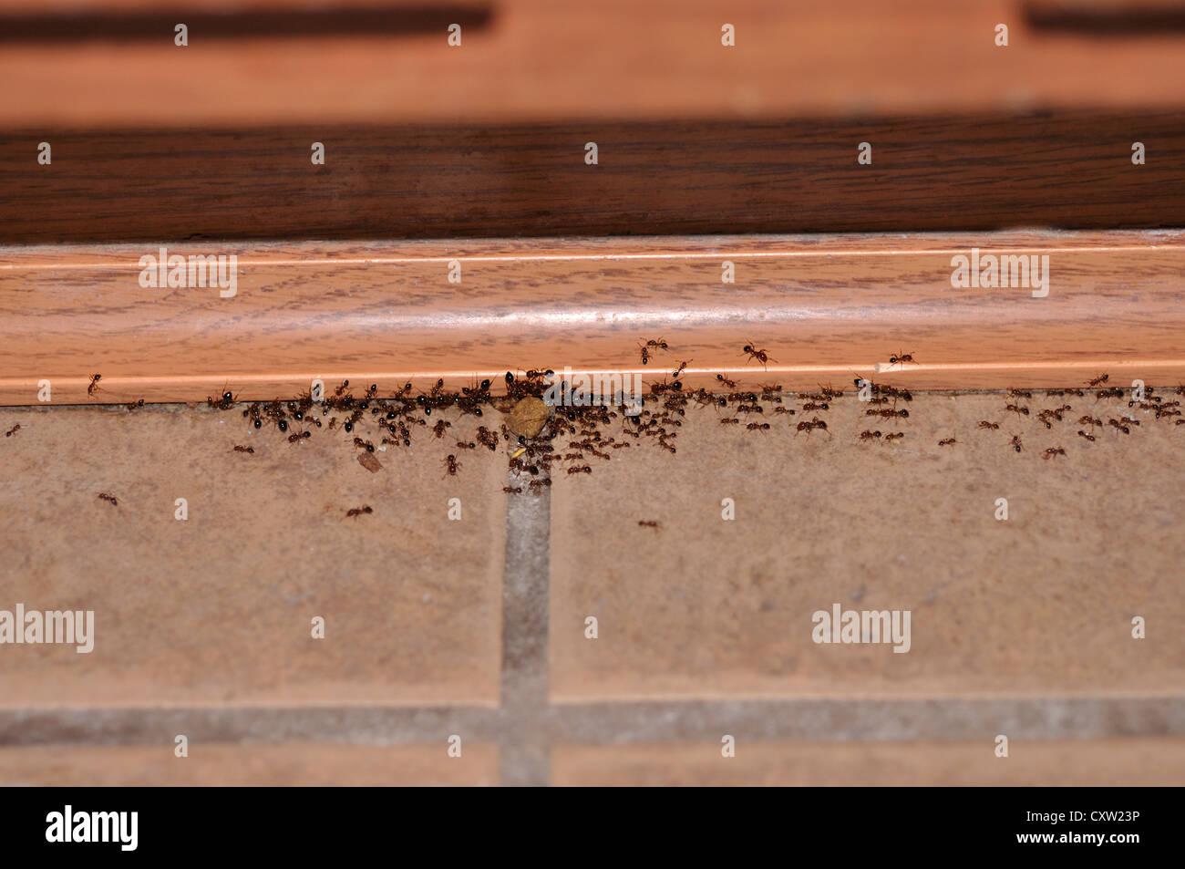 Ants In Kitchen Floor  Wow Blog