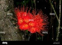 Panama Flower Stock &