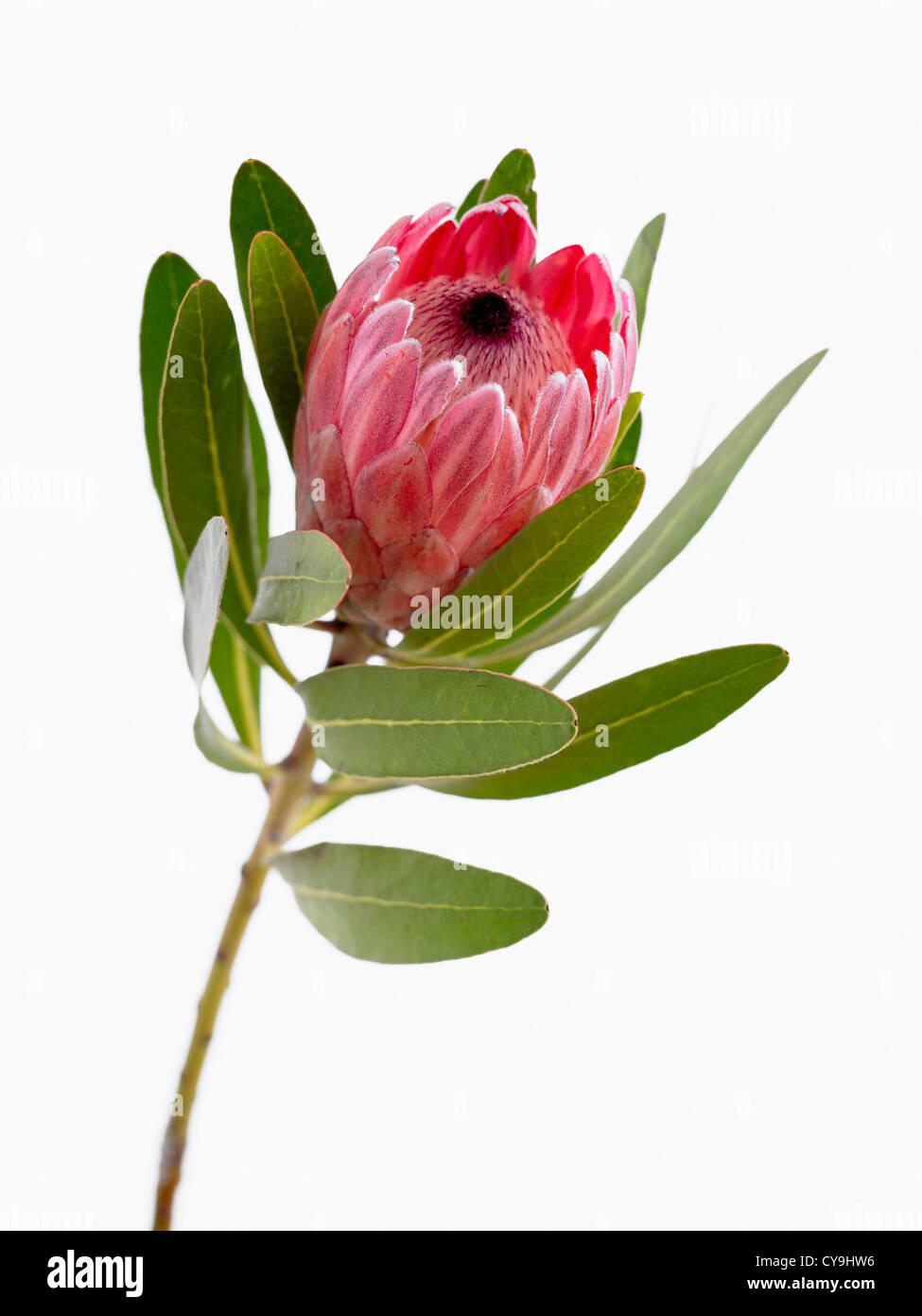 Wallpaper Hd Portrait Orientation Protea Neriifolia X Susannae Pink Ice Single Flower On