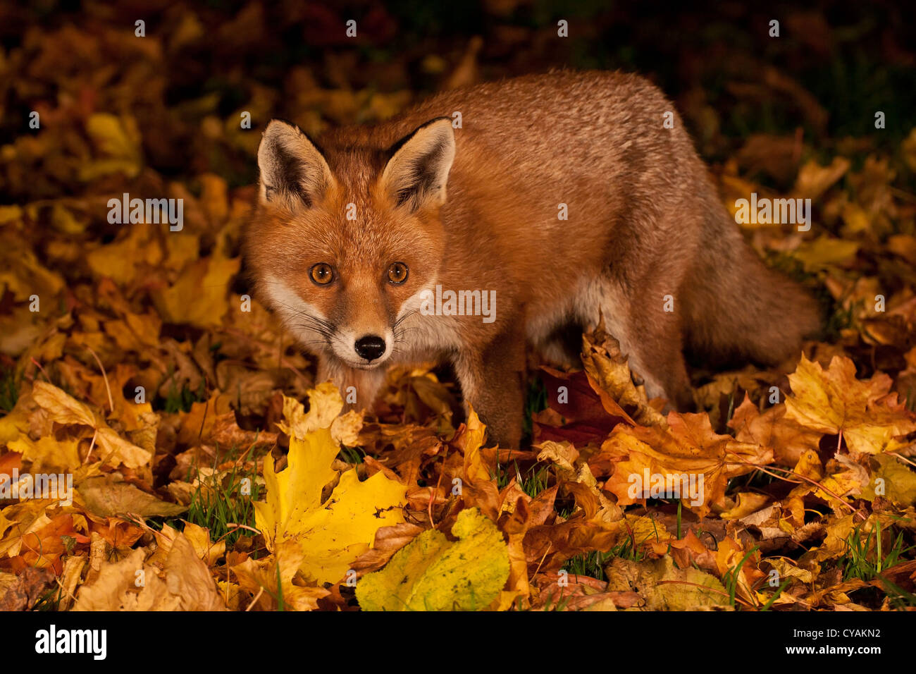 Live Wallpaper Fall Leaves Autumn Fox Stock Photo Royalty Free Image 51251454 Alamy