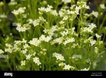 Alpine Wild Flowers Berchtesgarden National Park Bavaria