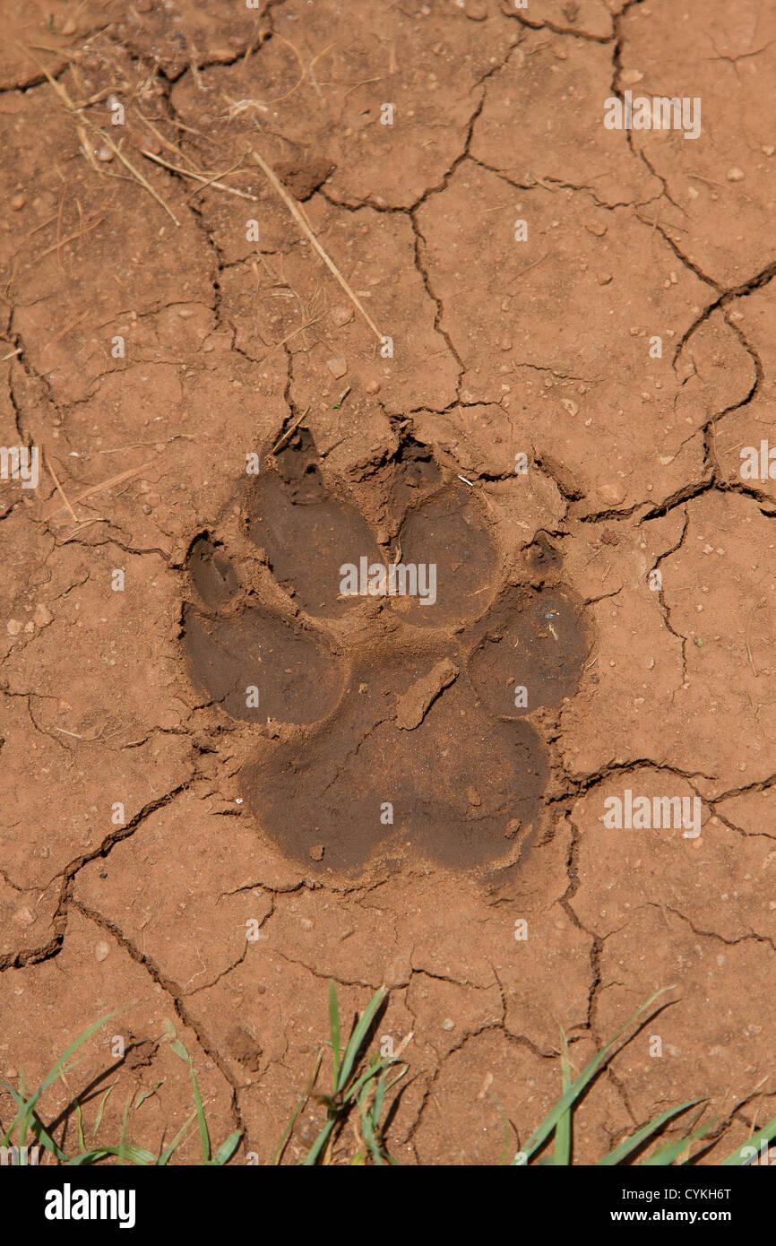 a lions paw print