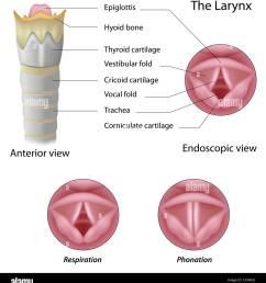 anatomy of the larynx stock image [ 1221 x 1390 Pixel ]