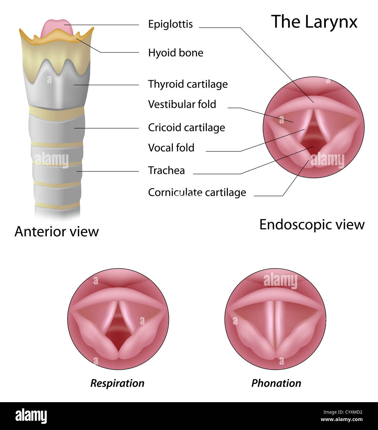 hight resolution of anatomy of the larynx stock image