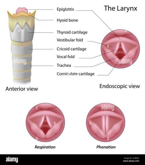 small resolution of anatomy of the larynx stock image