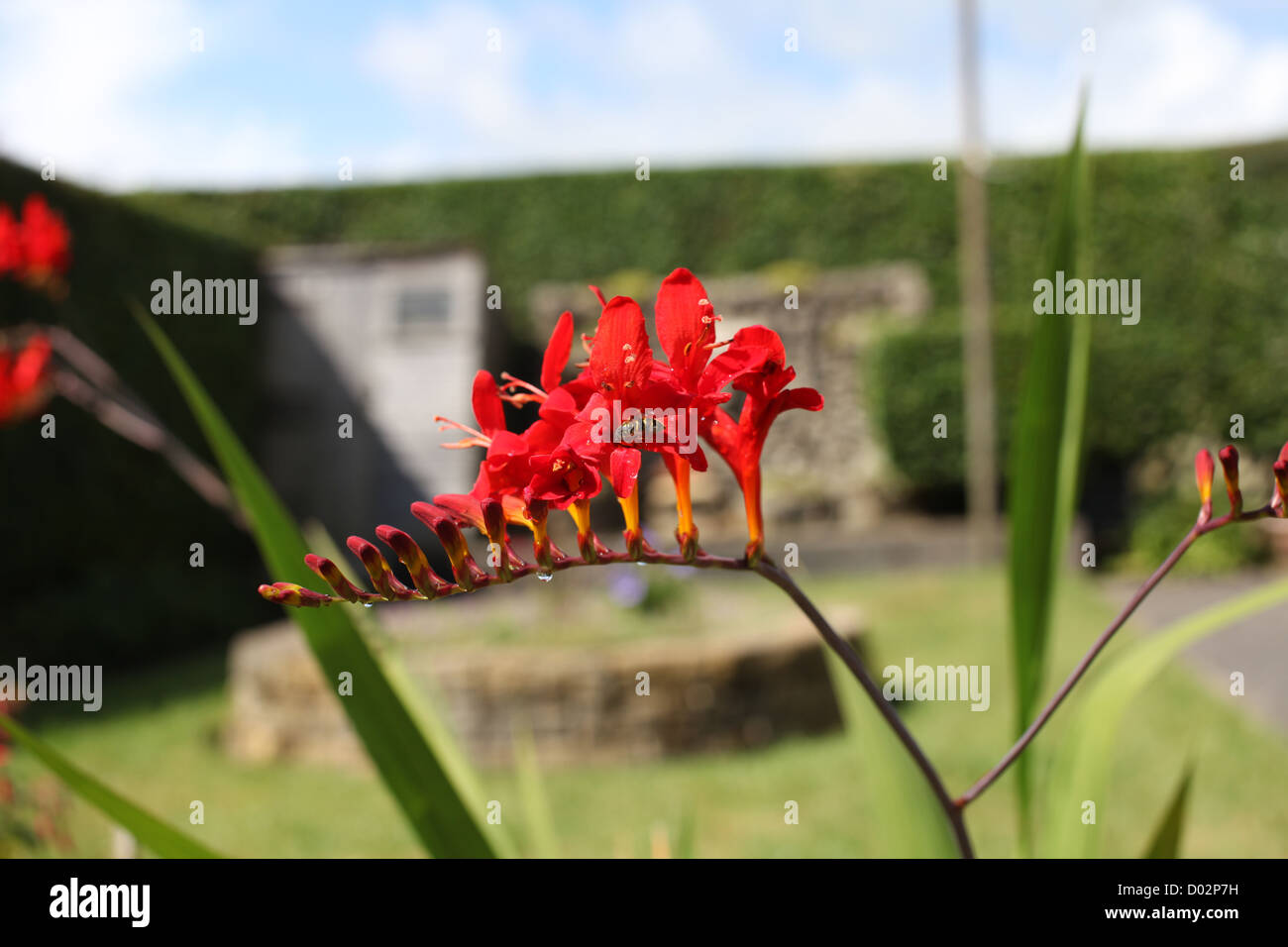 A small genus of flowering plants in the iris family ...