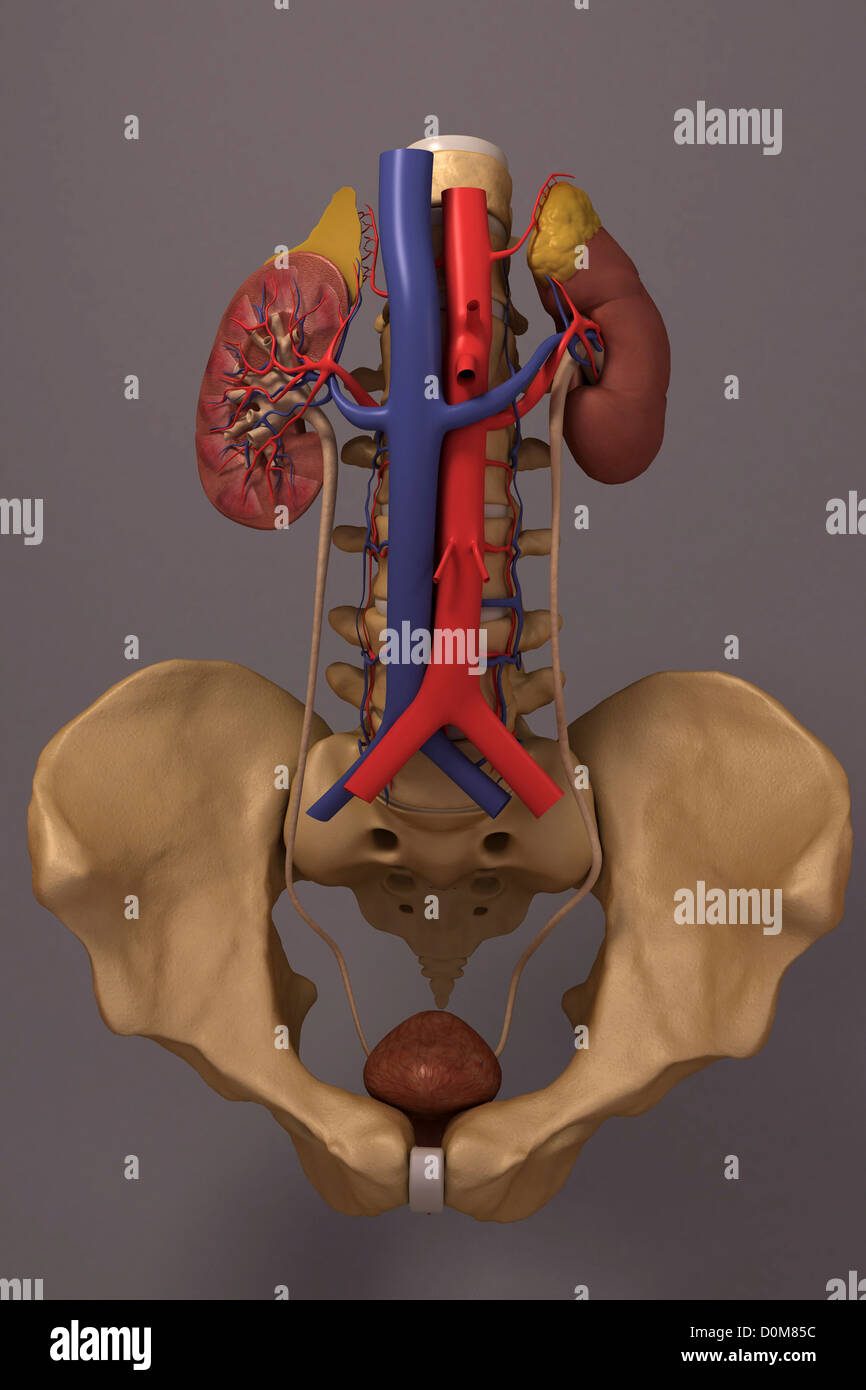 hight resolution of front view of the renal system and it s blood supply the vertebral column and pelvis is also included