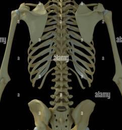 rear view of the bones of the torso  [ 866 x 1390 Pixel ]