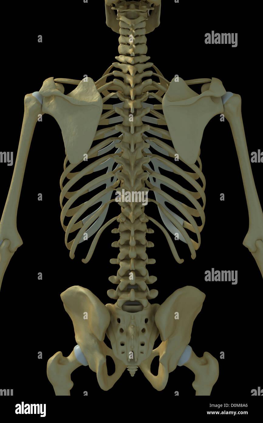 medium resolution of rear view of the bones of the torso