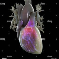 Sinoatrial Node Diagram 1999 Saturn Sl2 Alternator Wiring Heart Electrical System Stock Photos And