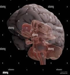 a stylized diagram of a human brain showing the brain stem  [ 1300 x 1390 Pixel ]