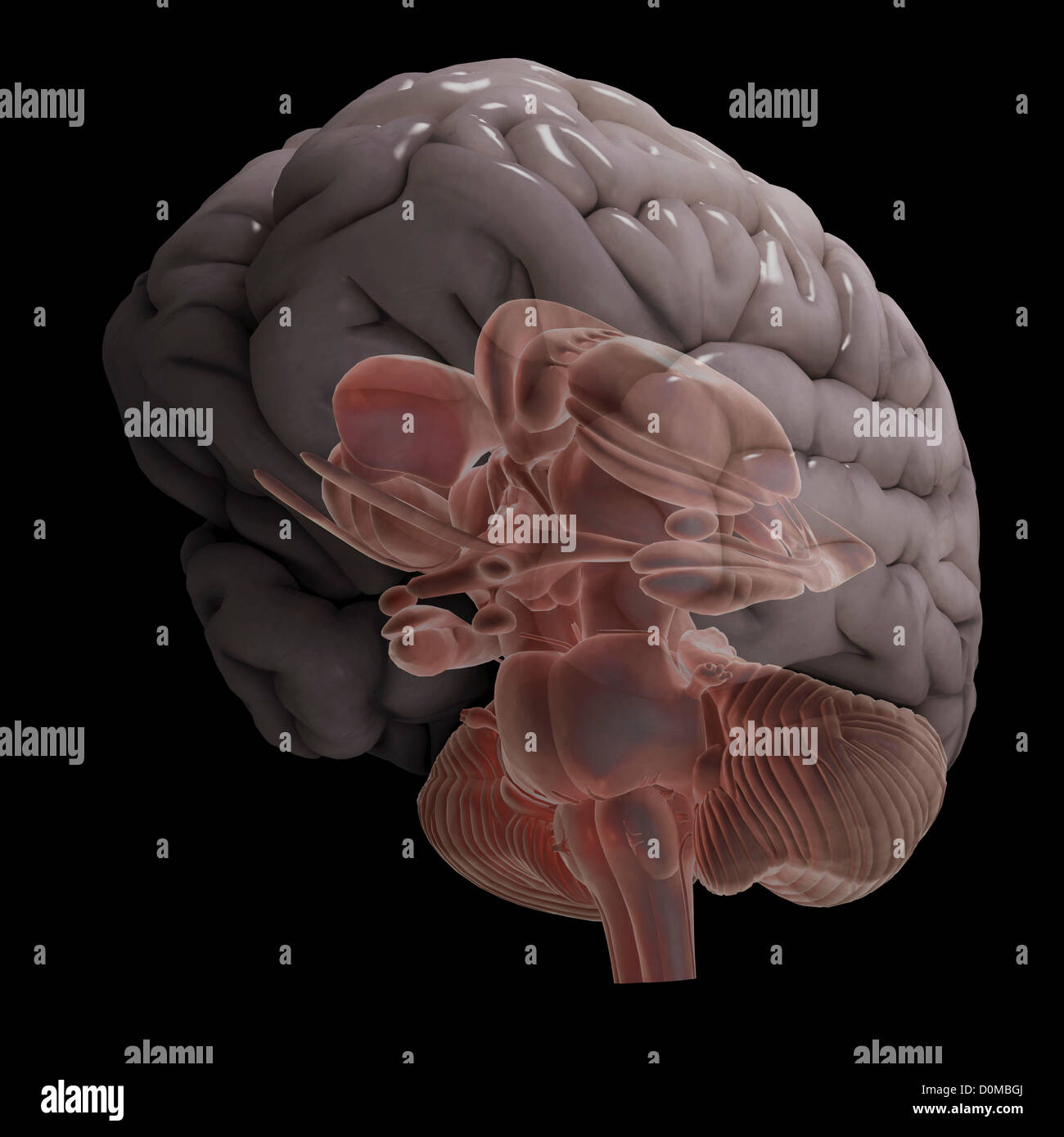 hight resolution of a stylized diagram of a human brain showing the brain stem