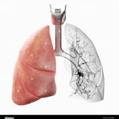 Heart Diagram Inside Harbor Breeze Fan Switch Of The Lungs Wiring Schematic Showing Blood Vessels At Work A Pair Human