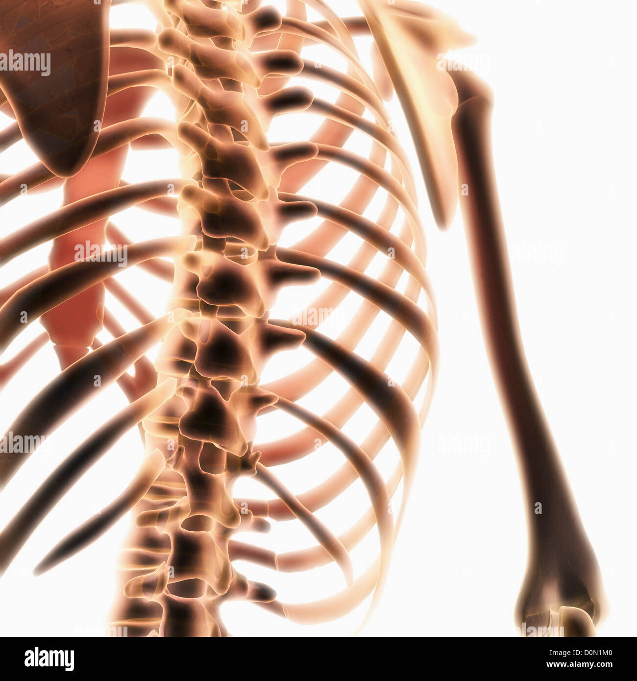 diagram of skeletal ribs reading panel wiring diagrams showing the structure spine and rib cage