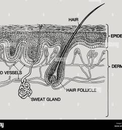 a diagram layers human skin two main layers are epidermis dermis two are crossed sweat glands hair blood vessels run below [ 1300 x 1130 Pixel ]