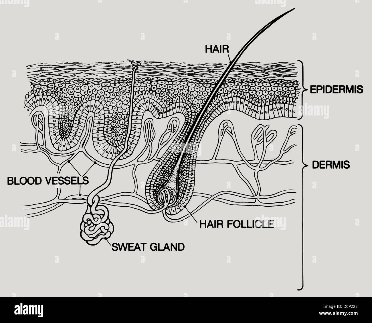 dermis layer diagram liquid oxygen phase a layers human skin two main are epidermis crossed sweat glands hair blood vessels run below