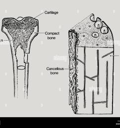 a line drawing showing the structure in bone including cancellous or spongy bone  [ 1300 x 1065 Pixel ]