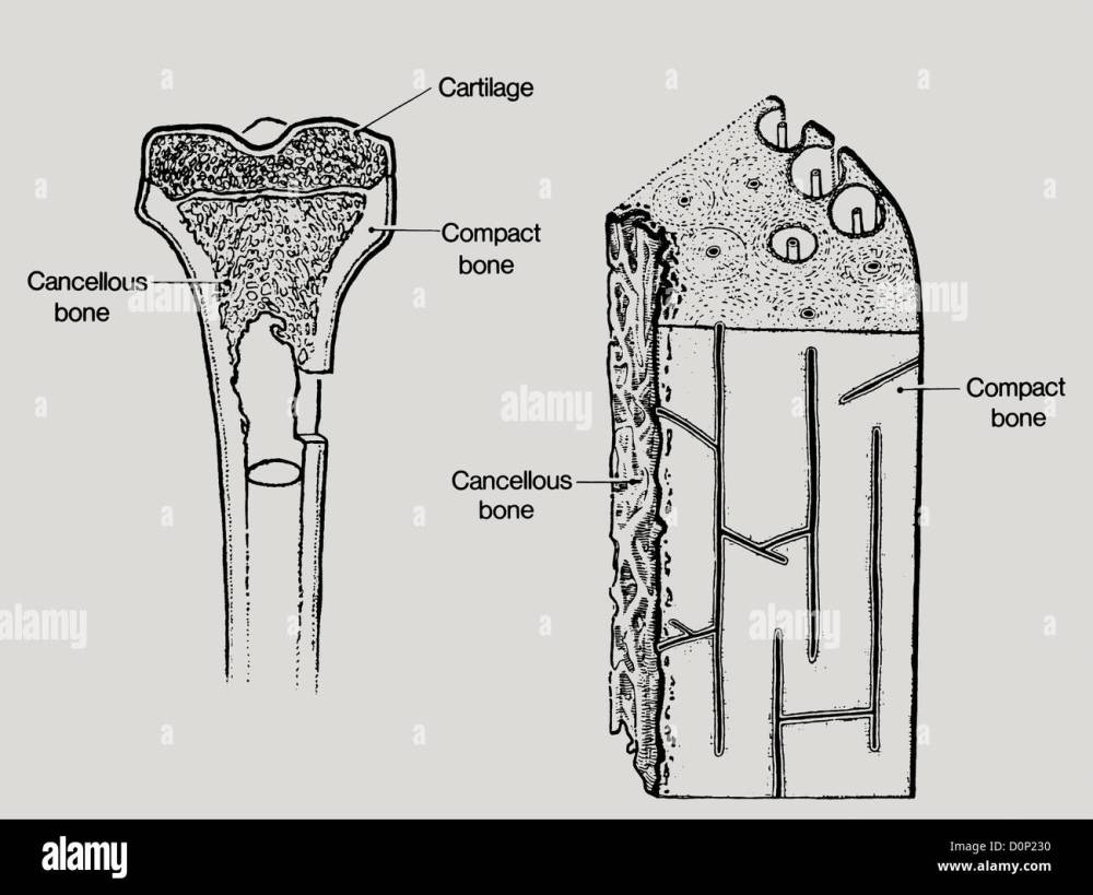 medium resolution of a line drawing showing the structure in bone including cancellous or spongy bone