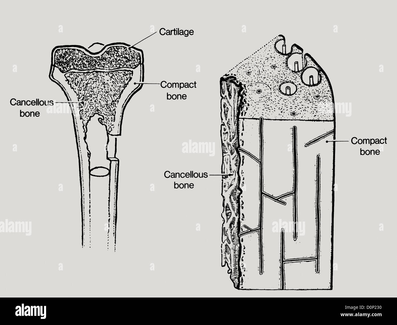 hight resolution of a line drawing showing the structure in bone including cancellous or spongy bone