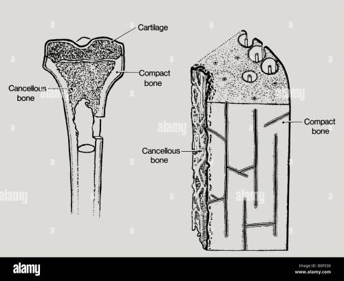 small resolution of a line drawing showing the structure in bone including cancellous or spongy bone