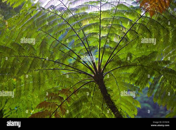 Umbrella Palm Stock &