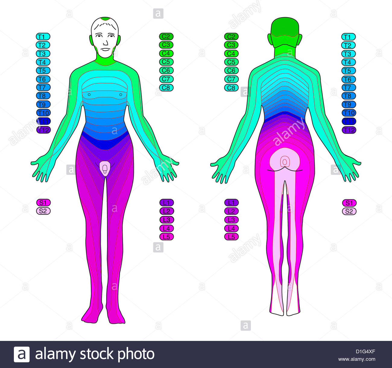 l4 nerve pain diagram dna structure labeled illustration dermatomes stock photo 52600871 alamy