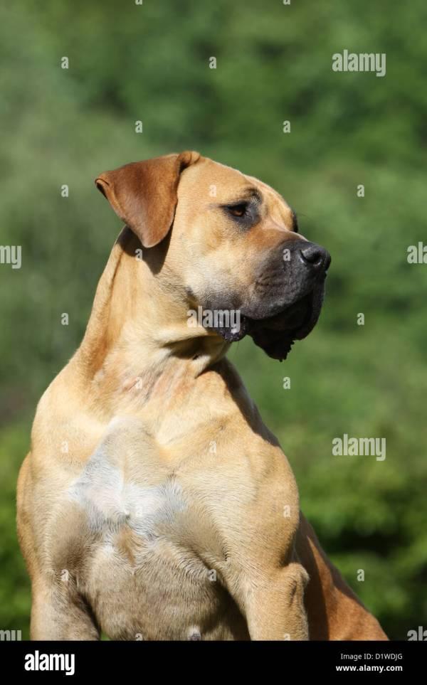 Allens South African Boerboel Mastiff - Year of Clean Water
