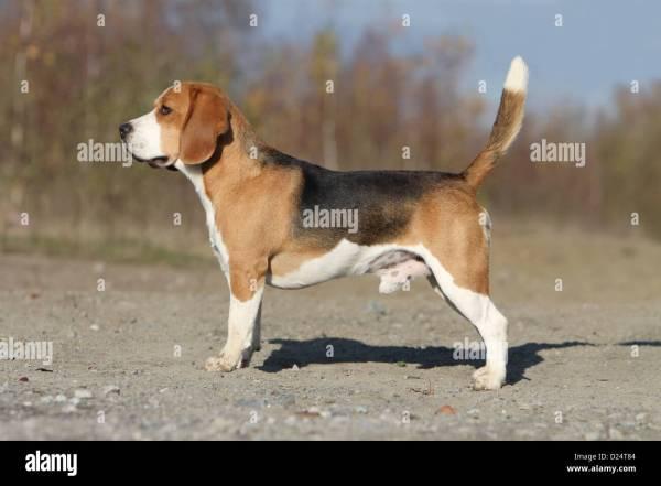 Dog Beagle Adult Standard Profile Stock 52967268 - Alamy