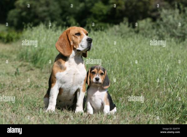 Dog Beagle Adult And Puppy Sitting In Meadow Stock