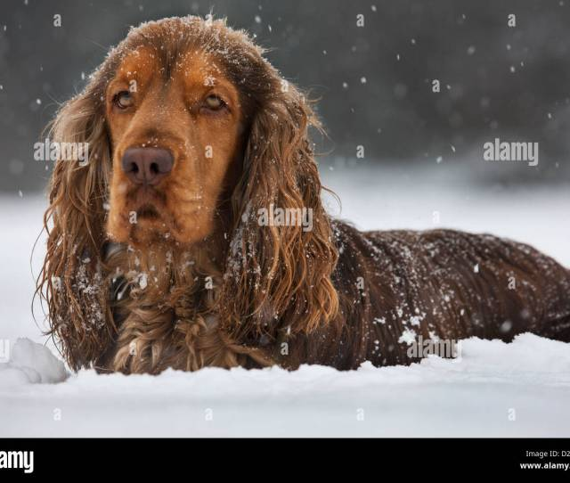 English Cocker Spaniel Dog In The Snow During Snowfall In Winter Stock Image