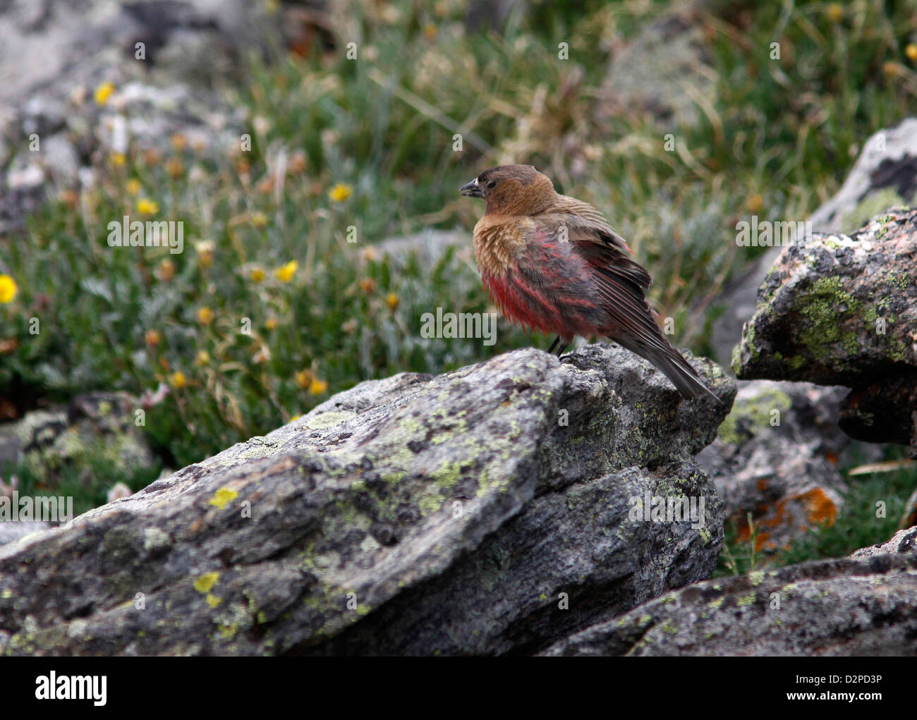 brown capped race rosy