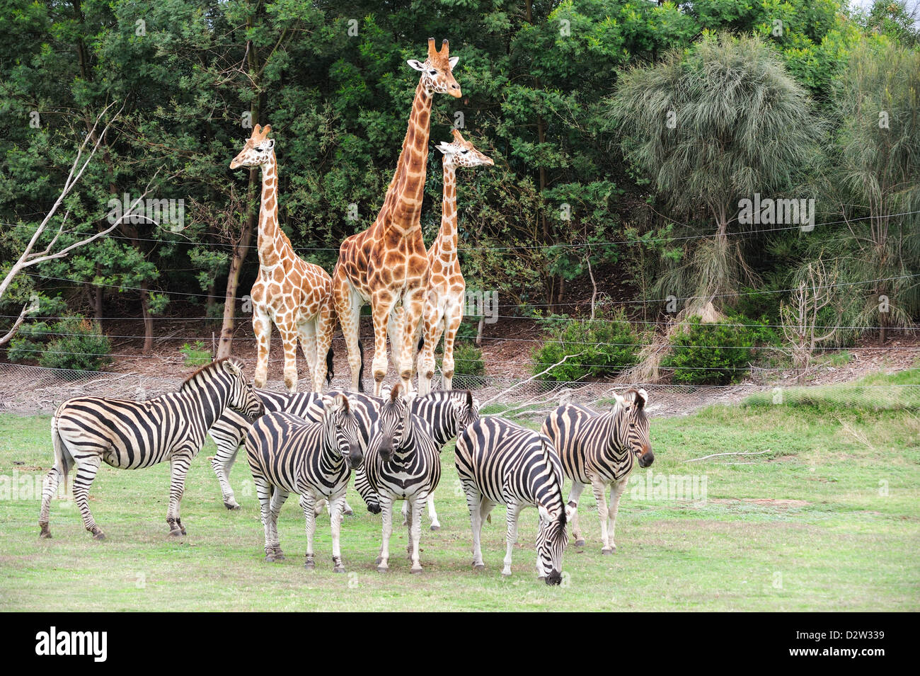 Three Giraffes On Lookout Duty In The Background As A Herd