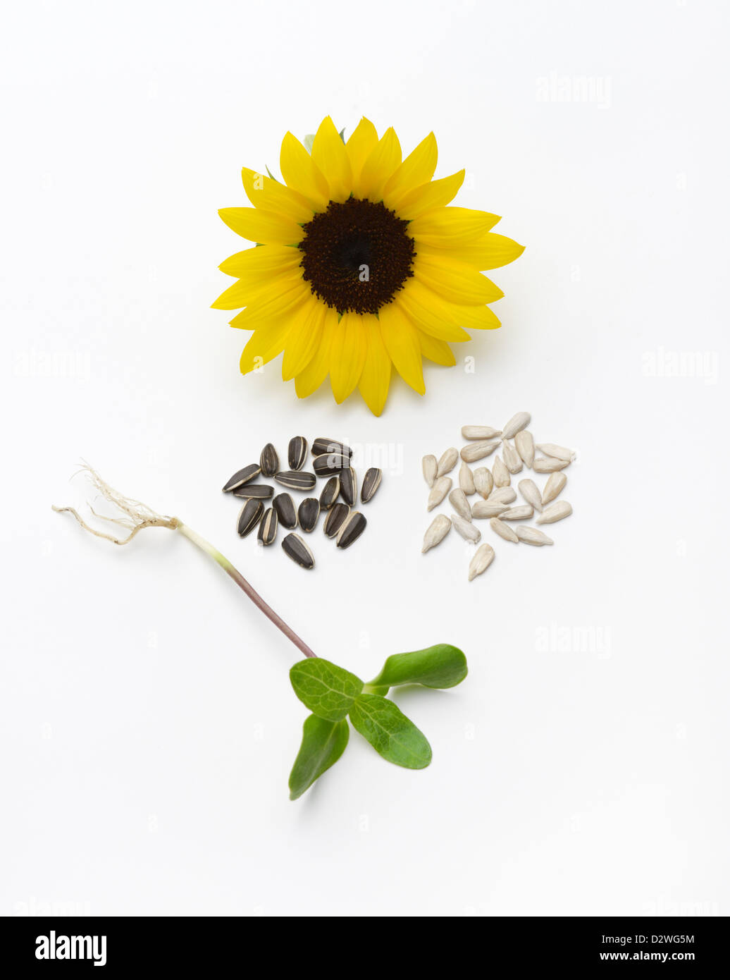 Sunflower Life Cycle With Seedling Seeds With Black Seed