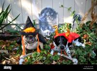 Two cute dogs dressed up in Halloween costumes Stock Photo