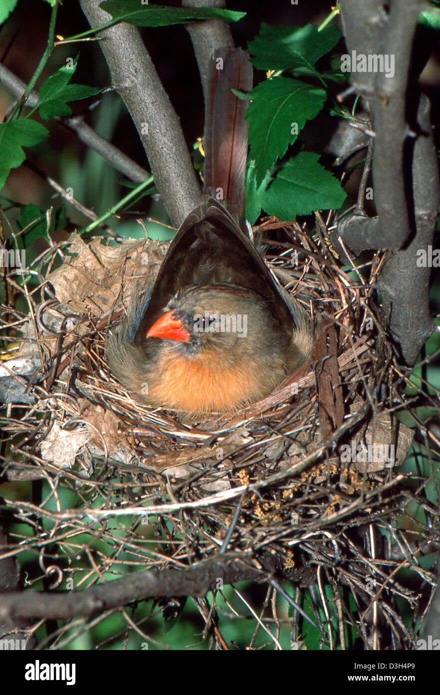 Cardinal Nest Stock Photos  Cardinal Nest Stock Images