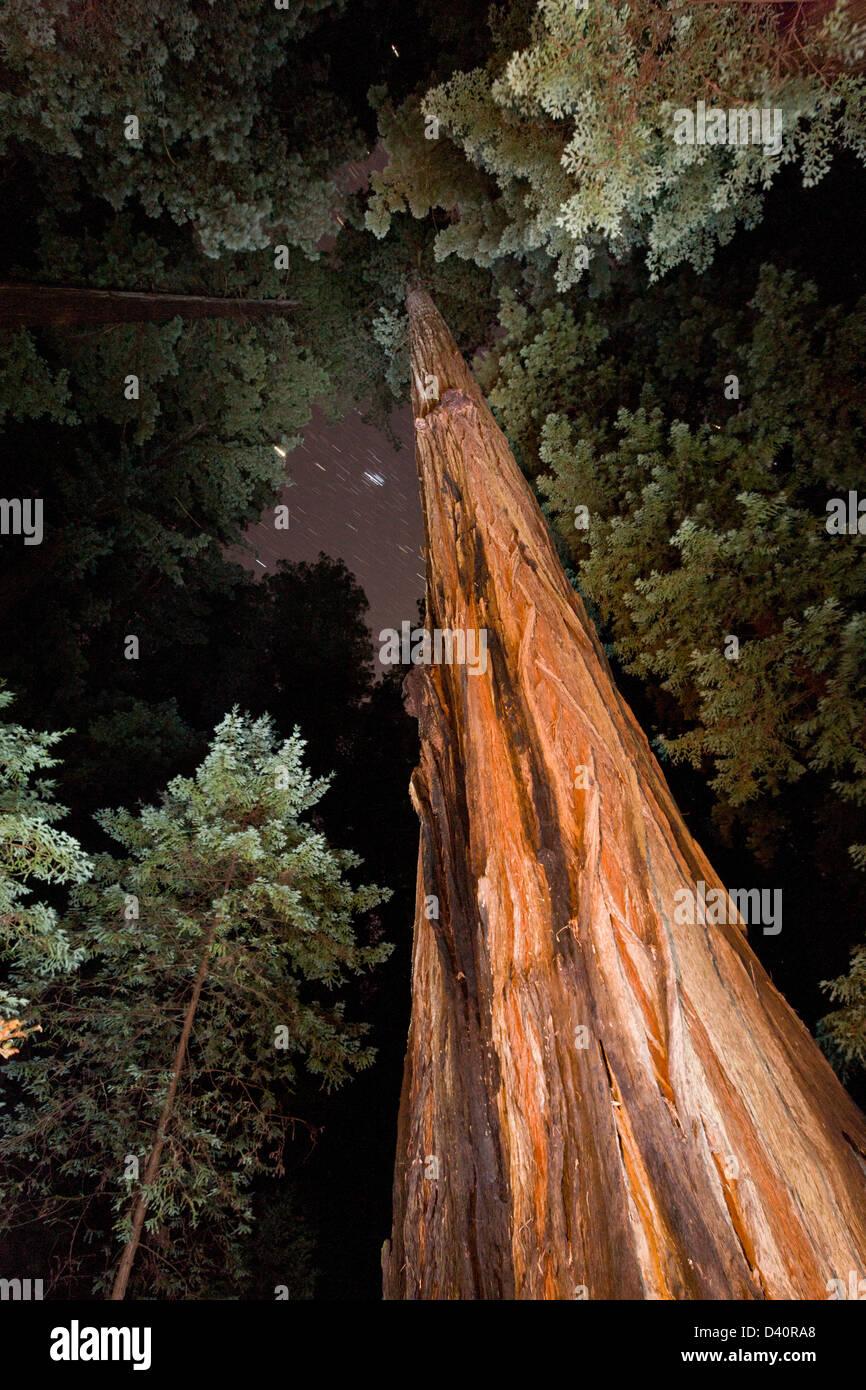 Coast Redwood Trees Stock Photos Amp Coast Redwood Trees