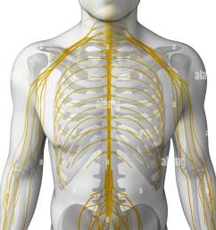 male nerve system stock image [ 975 x 1390 Pixel ]