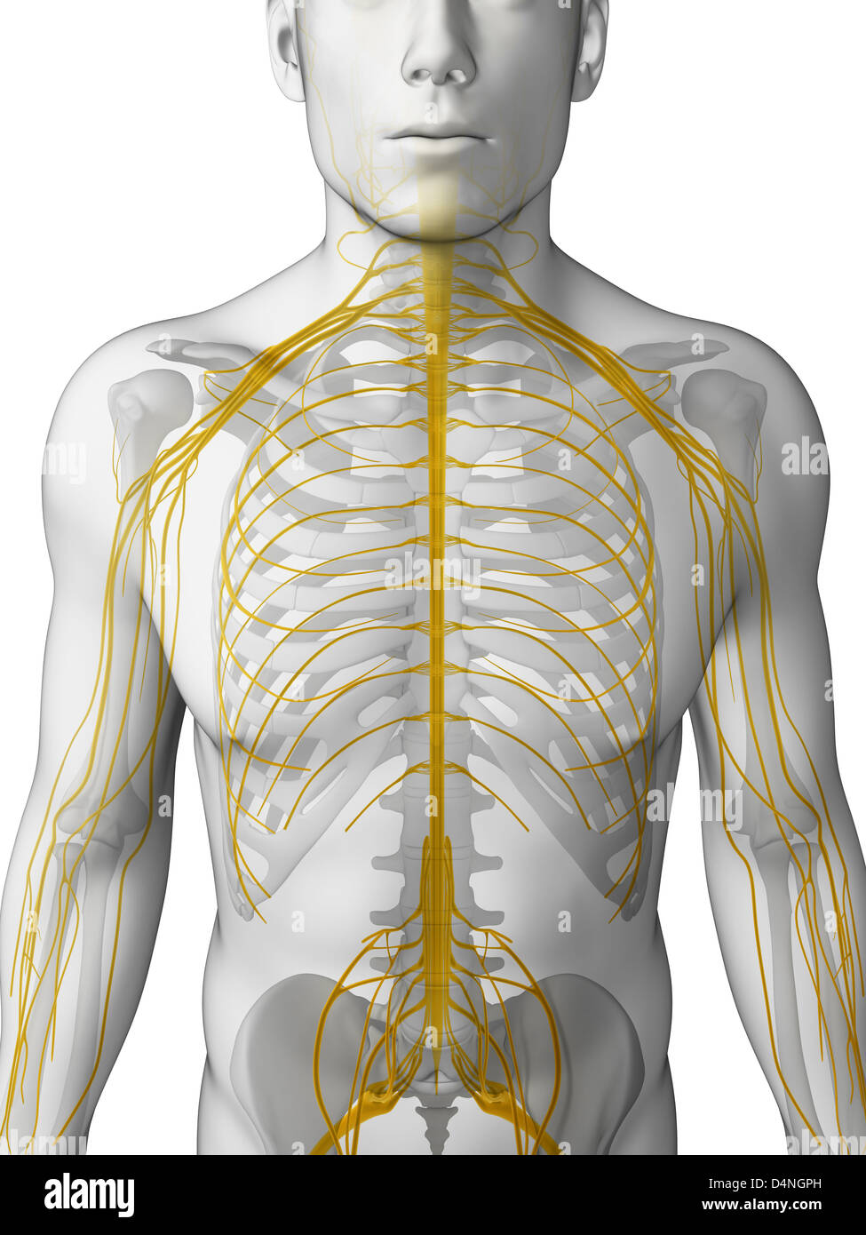 hight resolution of male nerve system stock image