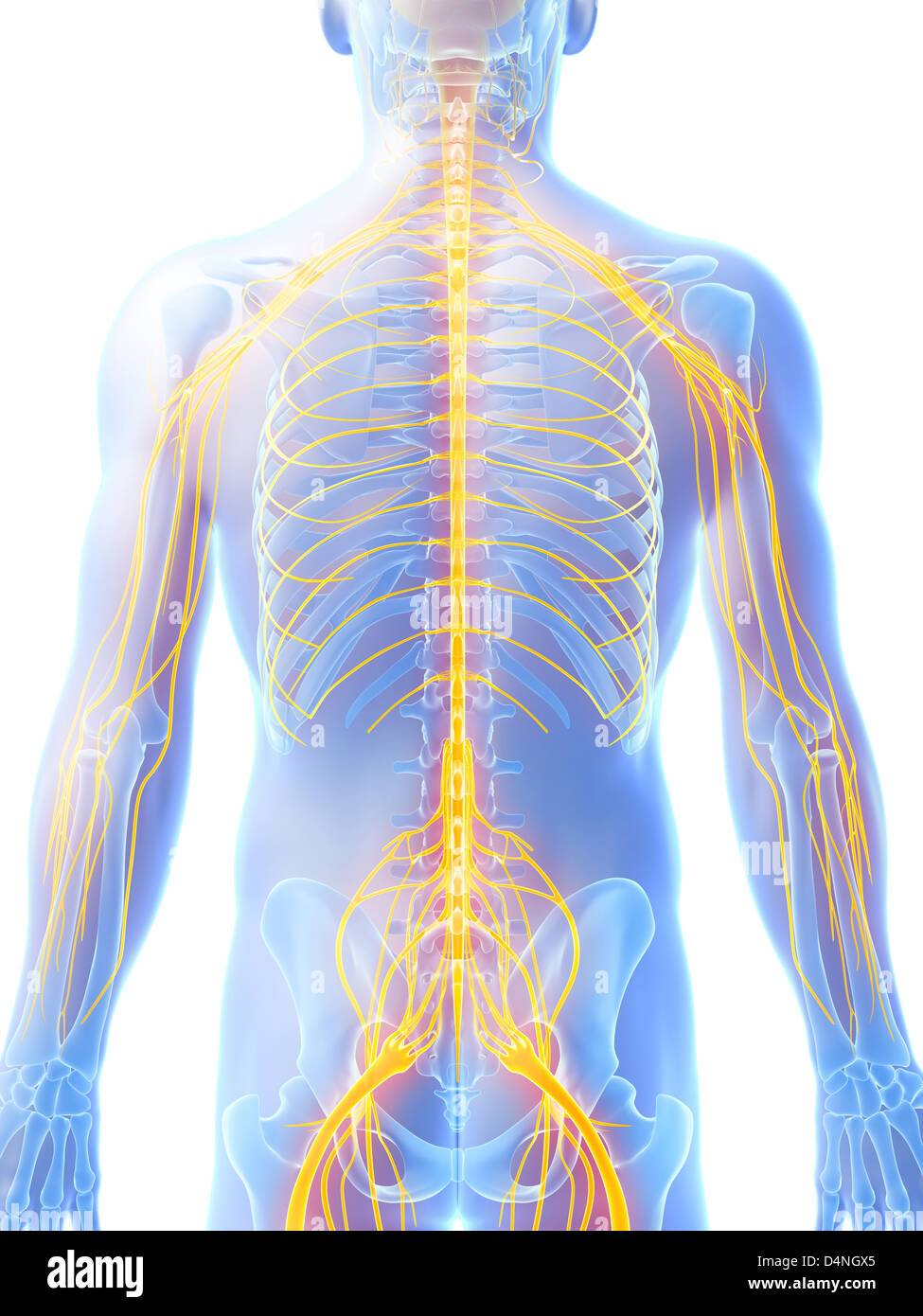 medium resolution of male nerve system stock image
