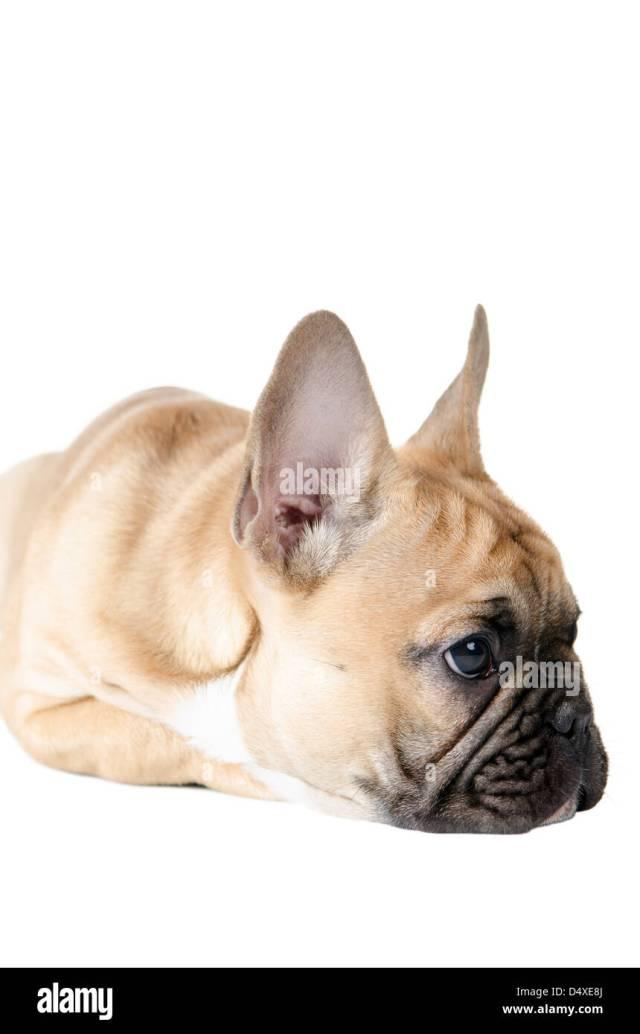 light brown french bulldog before white background stock