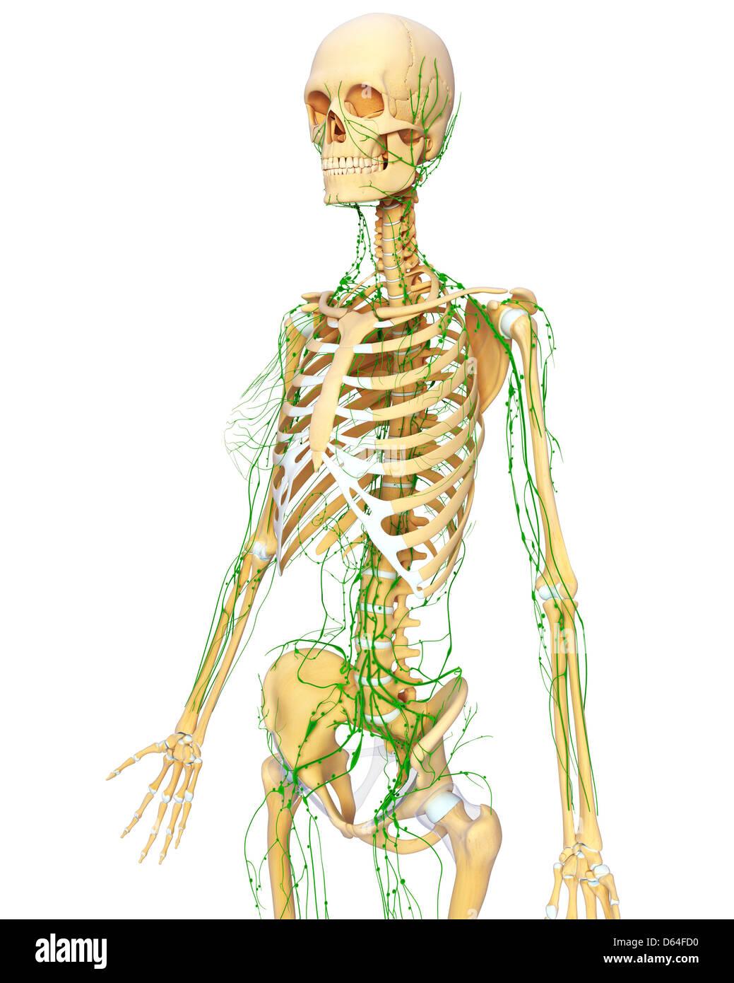 hight resolution of human anatomy artwork stock image